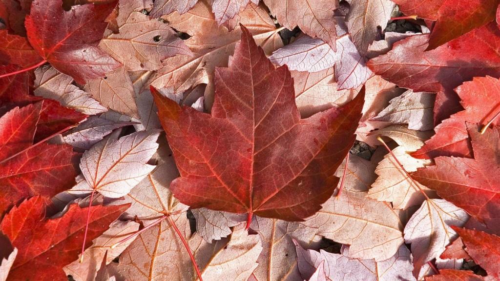 Maple Tree The Symbol Of Canada Express English