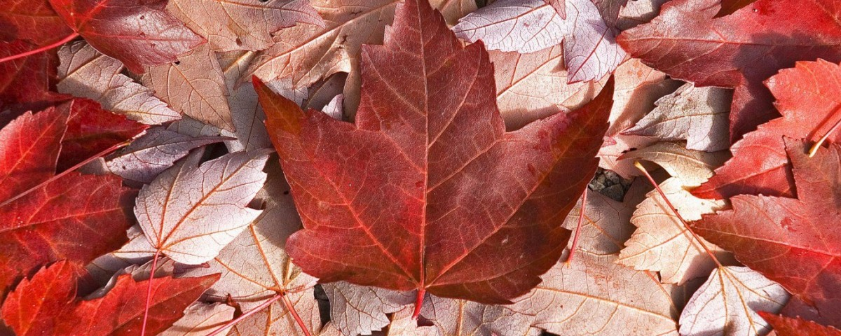 Maple Tree The Symbol Of Canada Express English